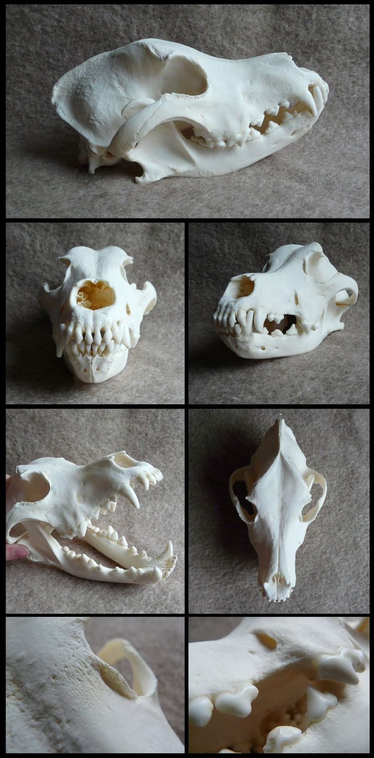 Siberian Husky Skull FOR SALE by CabinetCuriosities