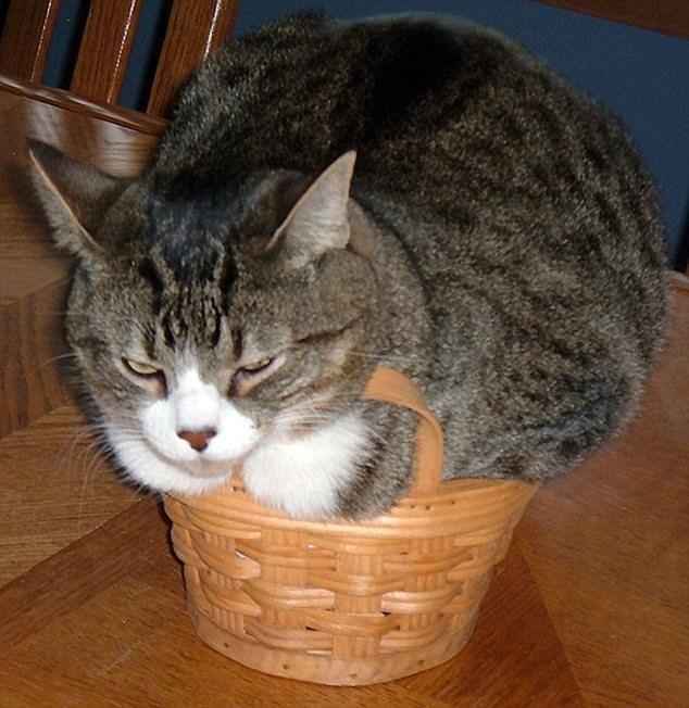 Move over Grumpy Cat! This feline was not best pleased with his choice of basket to sit in