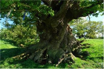"""""""This is a sacred ancient tree called the White Leaved Oak in the Malvern Hills area of the UK. It is said to mark the center of The Circle of Perpetual Choirs, each choir comprising 2,400 druids or monks who chanted on a rolling rota basis, 100 at a time, every hour of the day and night, in order to maintain the ongoing enchantment of Britain."""""""