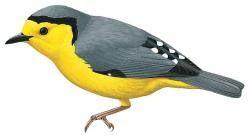 Nombre vulgar: Silbador enano, Goldenface  Nombre científico: Pachycare flavogriseum