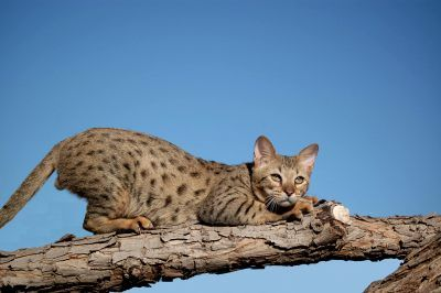 Most Expensive Cat Breeds In The World: 2. Savannah $15,000 – $35,000