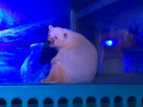Depressed Polar-Grizzly Bear Kept Locked In A Room At The Mall. SO CRUEL! Po 11/24/16