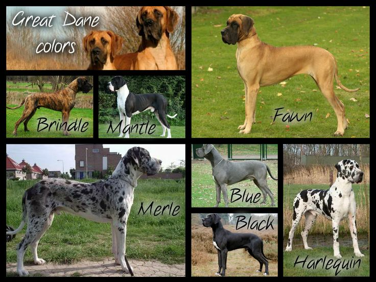Great Dane colors. There are a couple more like fawn harlequin, brindle harlequin, mostly white, blue mantle, but to my knowledge they're rarer. (could be wrong)