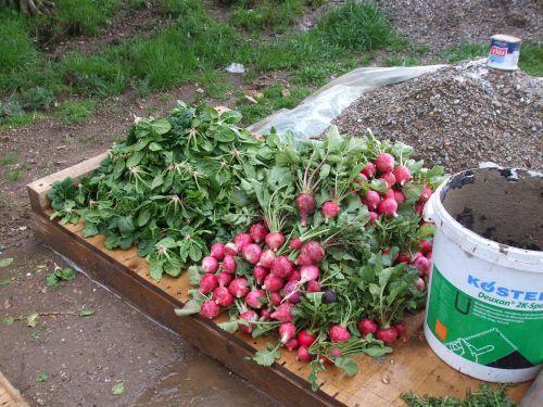 Doğal olarak yetişen ürünlerimizden ilk hasadımız. Allah bereket versin. Büyüklük:  69,5 KB (Kilobyte)