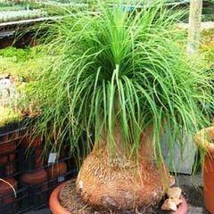 10 Ponytail Palm Seeds - Beaucarnea recurvata - Nolina recurvata - Exotic Tropical Tree for R5.00