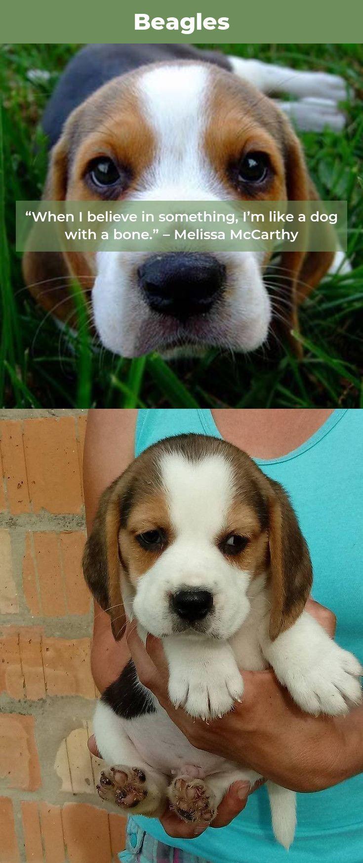 Beagles Pup Beagleoftheday Beagle Beagle Puppy Beagle Art Dogs