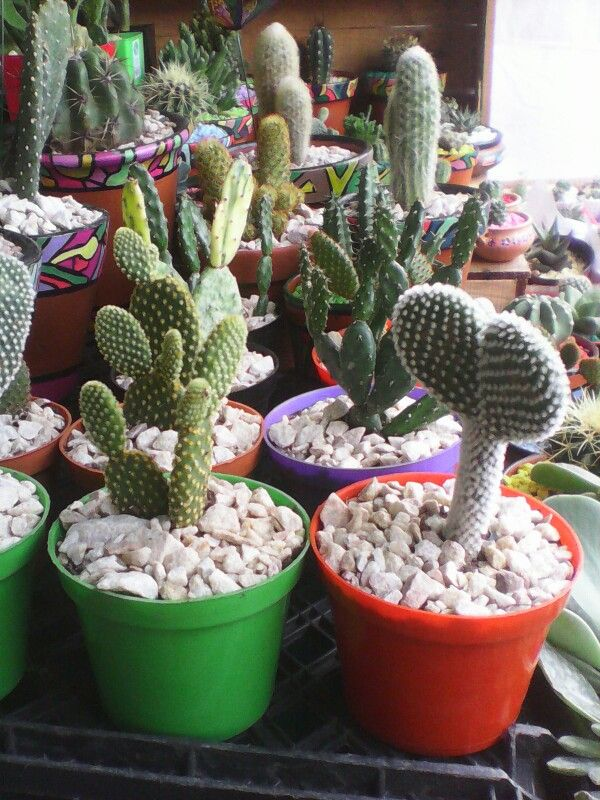Diferentes variedades de opuntiasd cactus pinterest for Cactus variedades