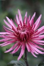 Хризантемы Никитского. ..   : фотографии Цветы / макро