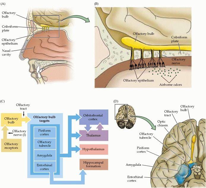 1 Olfactory Receptor 2  Olfactory Nerve  Cn I 3  Olfactory