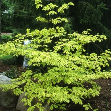 Golden Shadows Pagoda Dogwood, 2016 tiny thing from Bluestone Perennials, in a pot until it grows