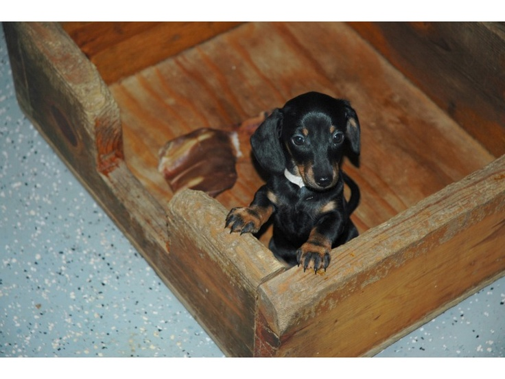 Puppies for sale Miniature Dachshunds, Doxies, Dachsies