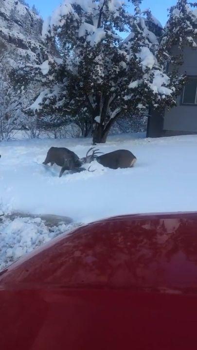 Deer fight in heavy snow