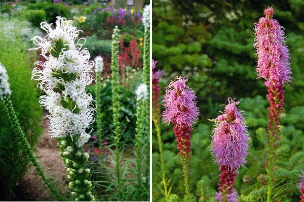 Лиатрис – цветущие свечи в саду | Дачный сад и огород