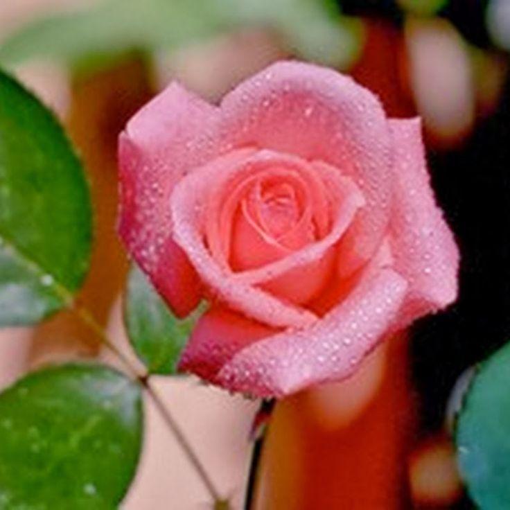 63bfc0a78c0cdb68a3d22389b4834f8b  beautiful roses pretty flowers