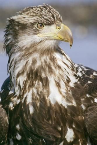 """Portrait photo of a young immature bald eagle in Homer, Alaska"""