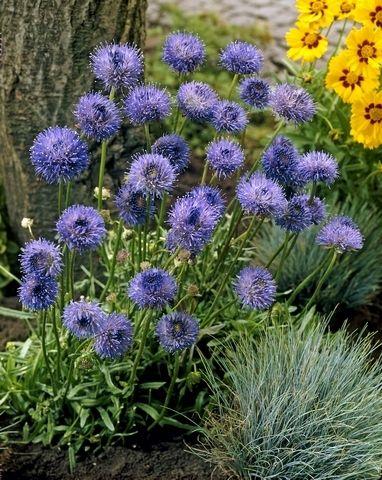 Zandblauwtje (Jasione laevis 'Blaulicht') bloeitijd juli- augustus met grote blauwe bloemen, groeit op tot 20cm hoogte. Staat het liefst op een zonnige of halfschaduw plaats in een zanderige bodem.