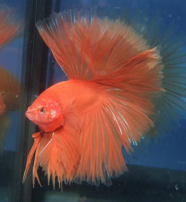 1000 images about aquariums on pinterest auction for What fish are compatible with betta fish