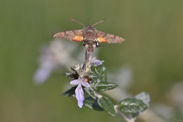 Pescalune Photo: Moro Sphinx (Macroglossum stellatarum), Hummingbird Hawk-moth