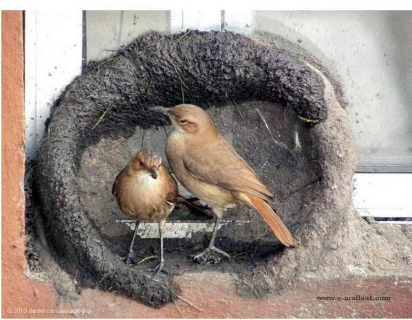 Photos bird builds its nest building a nest in the engineering skill and impeccability - builds mud