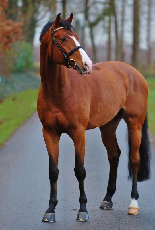 Pikeur Quick Fire  「Quintero x Ordelia」  Holsteiner Stallion