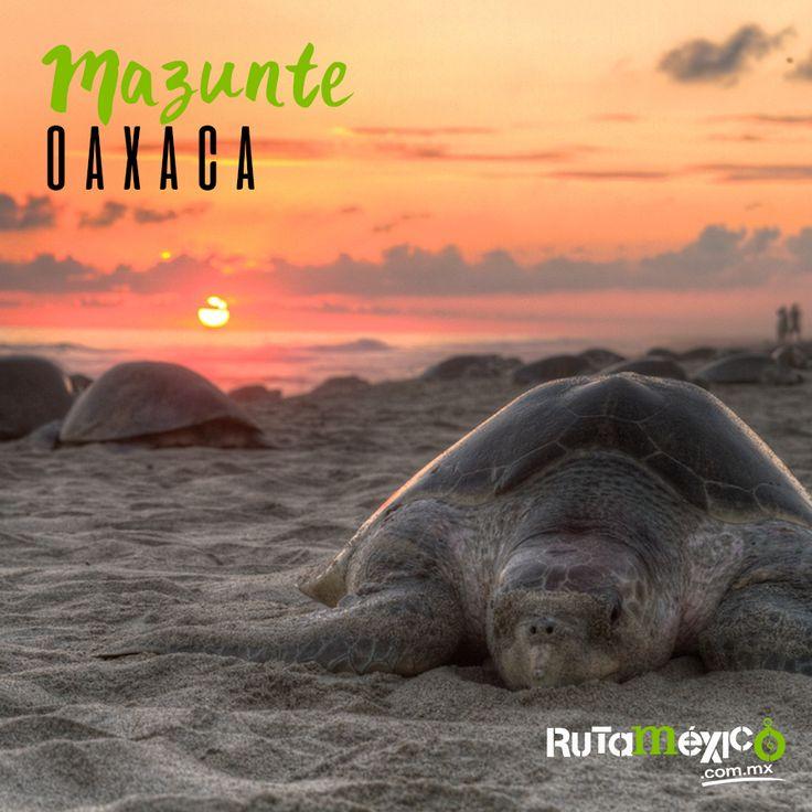 ¡Conoce Mazunte, pueblo mágico de tortugas ! Sé testigo del maravilloso arribo nocturno de la tortuga golfina para desovar en sus playas, ¡Un espectáculo que no te puedes perder!  #WeLoveTraveling www.rutamexico.com.mx Whatsapp: (442) 350 4324 correo electrónico: info@rutamexico.com.mx  #Viajes #ViajesPersonalizados #ViajesNacionales #ViajesInternacionales #ViajesGrupales #PueblosMágicos