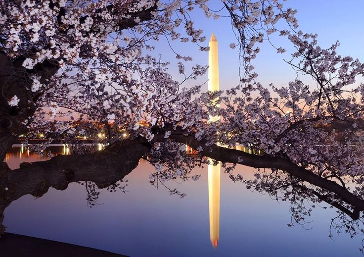 Cherry Blossoms at the Washington National Monument