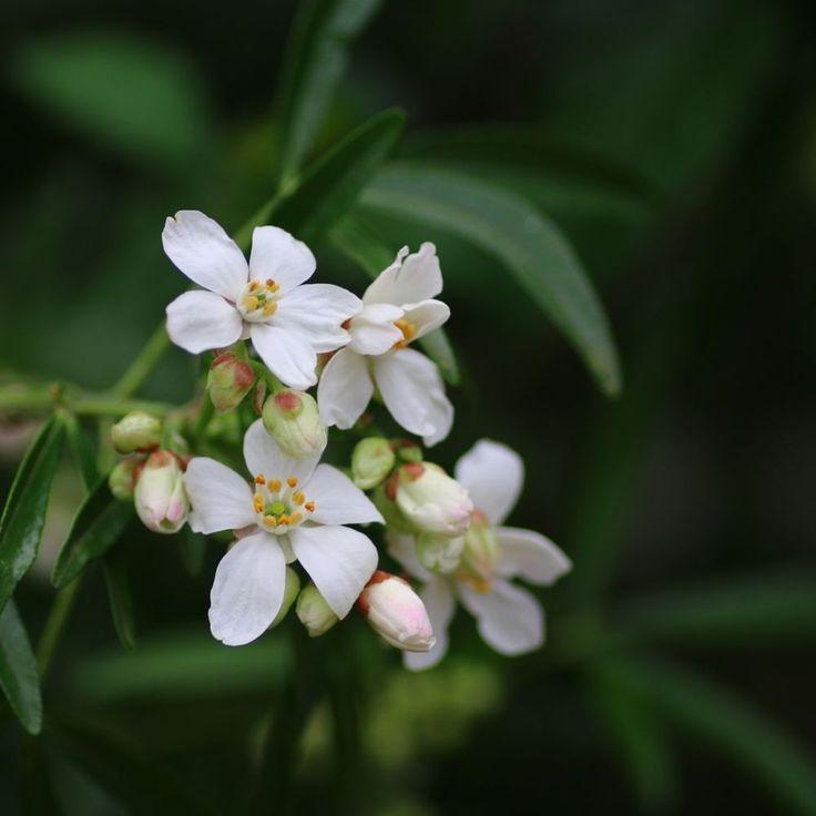 Les 25 meilleures id es de la cat gorie oranger du mexique sur pinterest choisya arbuste - Oranger du mexique bouture ...