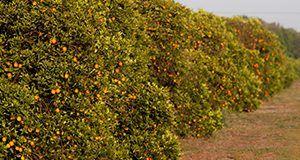 Citrus groves around Lake Alfred, Florida. Oranges, fruit, trees.