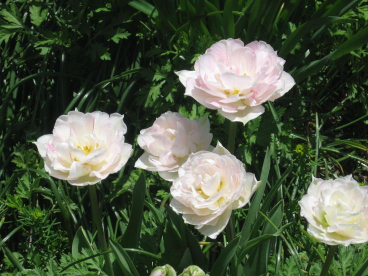 Antique Roses in Bloom in early June!
