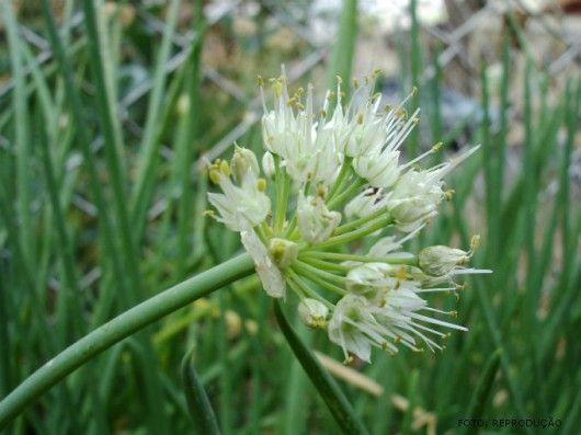 Horta - como plantar Cebolinha (Allium schoenoprasum) #alcanceosucesso: Uma Planta, Como Plantar, Plantar Cebolinha, Planta Peren