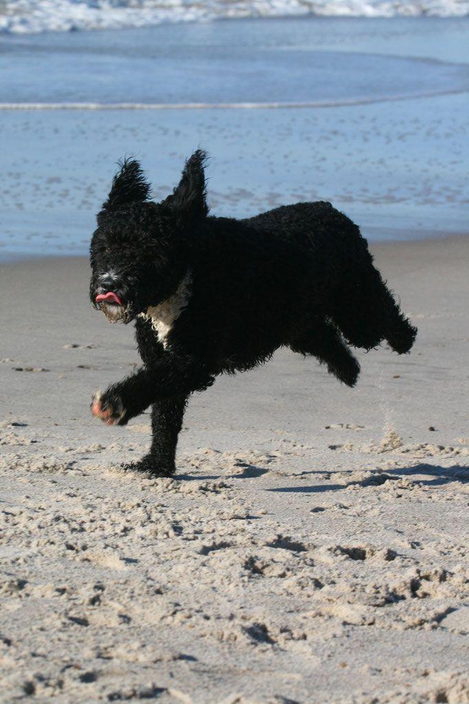 Unsere Hündin - perro-nord, spanische Wasserhund Welpen