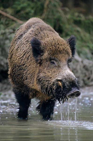 Wildschweinkeiler erscheint zum trinken an einer Suchle - (Schwarzkittel - Wildschwein), Sus scrofa, Wild Boar tusker visiting a wallow & drinking water - (Wild Boar - Feral Pig)