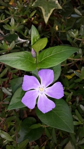 Periwinkle - Western Cape, South Africa