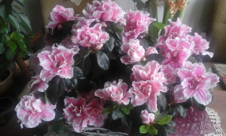 my rhododendron