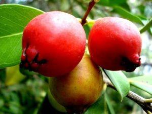 Araçá Mais conhecido, o araçá dá também em um arbusto – ideal para jardins residenciais. O fruto tem um sabor parecido com o da goiaba (com a qual compartilha parentesco), mas um pouco mais azedinho. É ideal para a a recuperação de áreas degradadas, pois tem crescimento rápido e atrai muitos passarinhos, que se encarregam de espalhar suas sementes. É bastante comum no litoral de São Paulo, por isso fique de olho durante as férias de fim de ano, pois ela frutifica no verão.