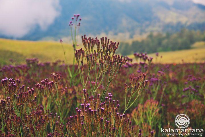 Bunga cantik berwarna ungu ini bernama Verbena Brasiliensis Vell. Walaupun terlihat cantik, namun bunga ini berbahaya bagi ekosistem karena tanaman ini menyerap air sangat banyak dan menyebar dengan cepat sekali. Saat ini, hampir 20 hektar kawasan di Oro-oro Ombo telah dikuasai oleh tanaman ini. Oleh karena itu, pihak TNBTS berusaha mengisolir pertumbuhannya. Pendaki juga diijinkan untuk memetik dan membawa pulang bunga ini, dengan catatan jangan sampai tercecer di tempat lain di kawasan…