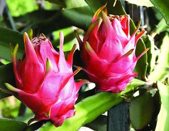 Dragon Fruit, Hylocereus triangularis, 20 seeds, luscious fruit, night blooming fragrant blooms, zones 9 to 11, climber or hanging plant by smartseedsjerusalem on Etsy