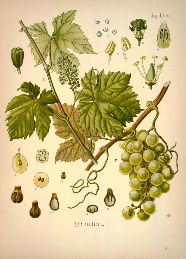 volume 1 - Köhler's Medizinal-Pflanzen in naturgetreuen Abbildungen mit kurz erläuterndem Texte : - Missouri Botanical Garden Rare Book Collection via BHL (Grapes)