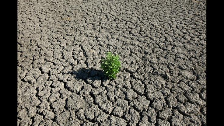 Una mala hierba que crece fuera de la tierra seca y agrietada de O.C. Fisher Lake el 25 de julio de 2011 en San Angelo, Texas. El lago de 5.440 hectáreas que se creó para controlar las inundaciones y servir como una fuente secundaria de agua potable de San Angelo y las comunidades circundantes ya está seco después de una prolongada sequía en la región.