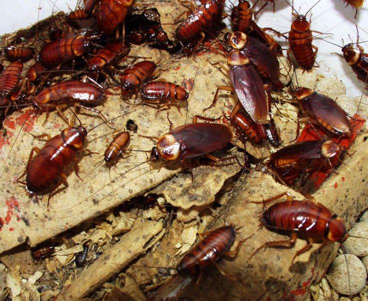 australian cockroach nest
