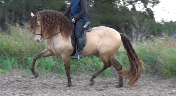 Horse ID: 2274 - Andalusian Horse for Sale