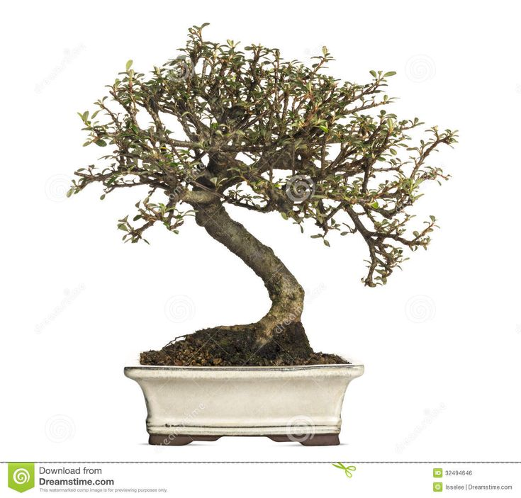 pruning bonsai cotoneaster for beginners   Cotoneaster bonsai tree, isolated on white.