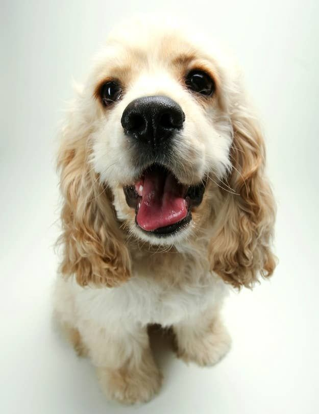 The 30 Cutest Cocker Spaniel Puppies You Ll Ever See In 2020 Spaniel Puppies Cocker Spaniel Cocker Spaniel Puppies