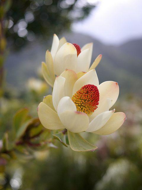 Peninsula conebush. Leucadendron strobilinum.