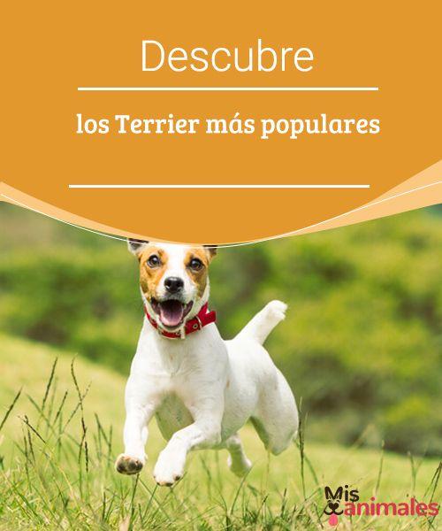 Descubre los Terrier más populares  Son posiblemente una de las familias más extensas dentro del mundo canino, veamos algunos de los Terrier más populares. #raza #popular #Terrier #curiosidades