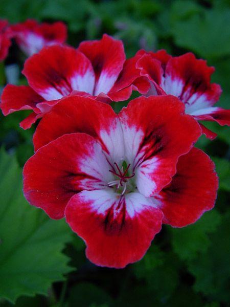 Pelargonium 'Cherry Baby'   www.perugiaflowershow.com