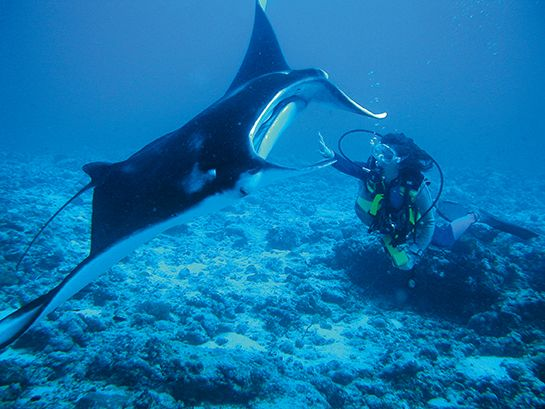 Meet the manta rays at Constance Moofushi, Maldives
