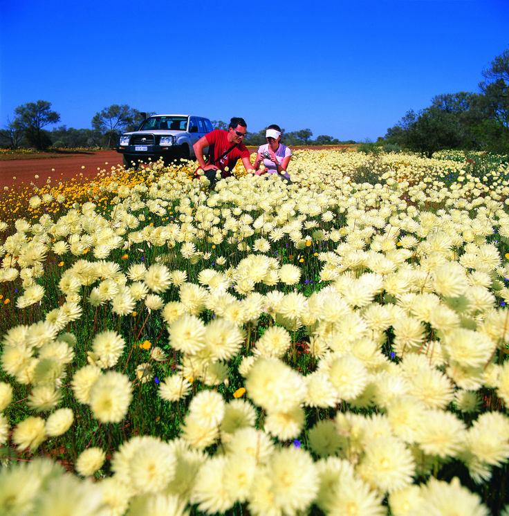 Wildflowers near Murchison http://www.australiasgoldenoutback.com/things-to-do-australian-outback/Nature_and_wildlife/Outback_wildflowers