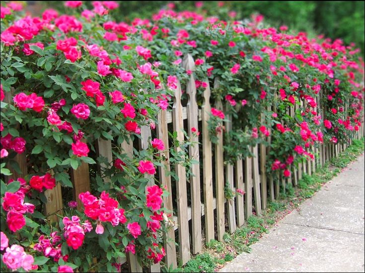 Knockout rose -- hope ours do this well.  What a beautiful hedge of roses.