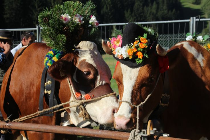 #valdidentromountainfeast #VMF #Valdidentro #aldidelabronza #flowers #pretty #cow PH. Loris Galli Graficando